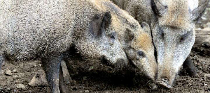 Fünf neue Fälle: Afrikanische Schweinepest breitet sich in Brandenburg aus